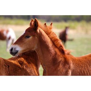 フリー写真, 動物, 哺乳類, 馬(ウマ), 子供(動物)