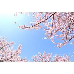フリー写真, 風景, 自然, 青空, 花, 桜(サクラ), ピンク色の花, 春