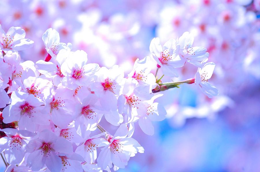 フリー写真 満開に咲いた桜の花