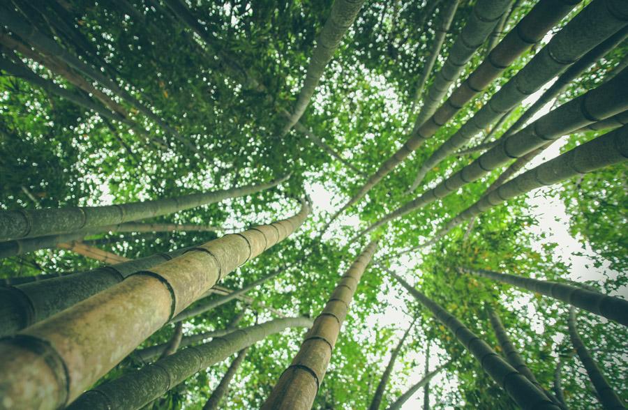 フリー写真 下から見上げる竹藪の風景