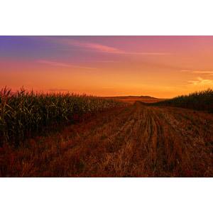 フリー写真, 風景, 畑, 作物, 夕暮れ(夕方), 夕焼け, ルーマニアの風景