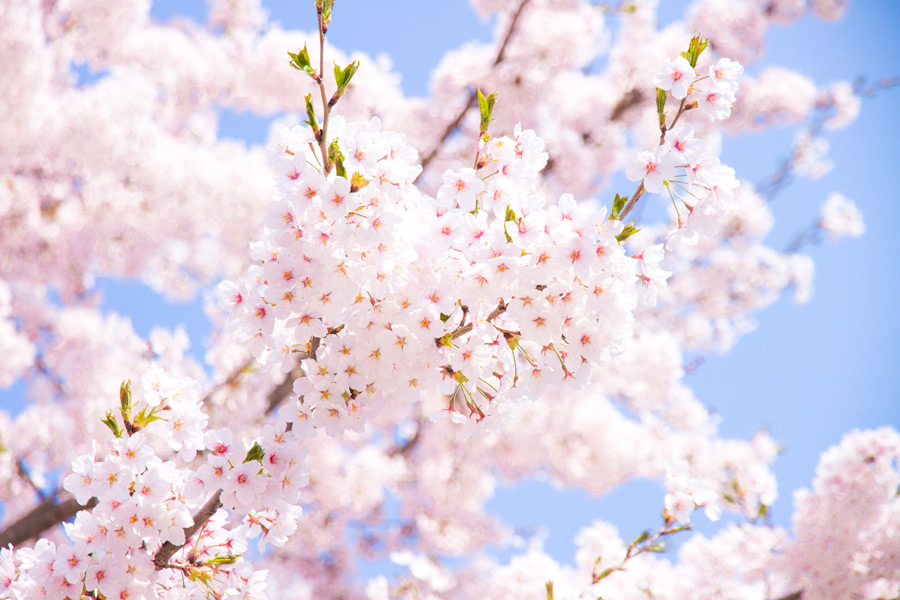 フリー写真 春真っ盛りの桜の花