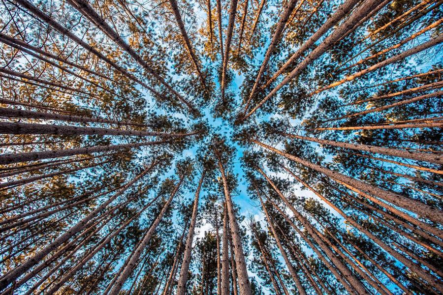 フリー写真 下から見上げた林の木々の風景