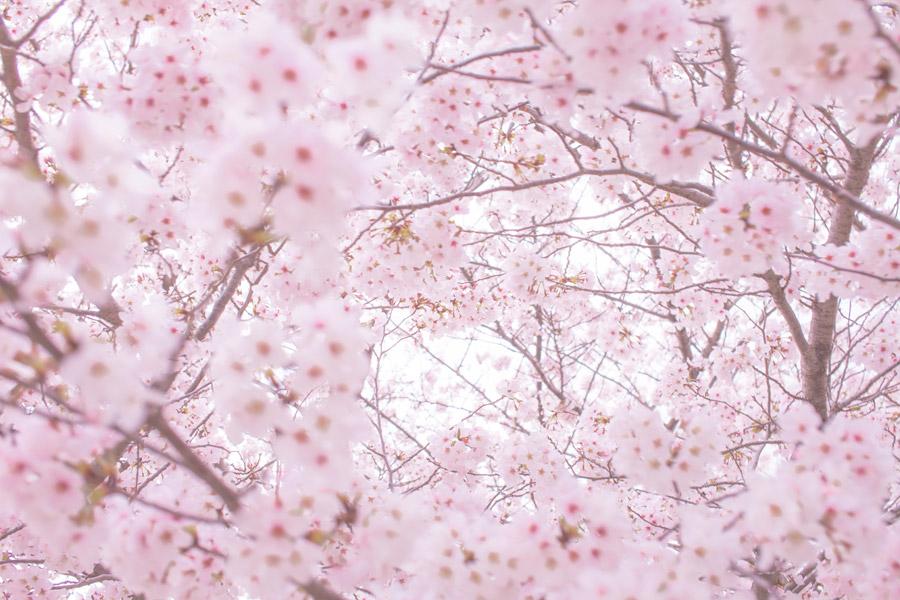 フリー写真 一面の桜の花の風景