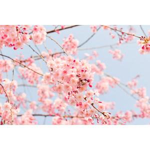 フリー写真, 植物, 花, 桜(サクラ), ピンク色の花, 春