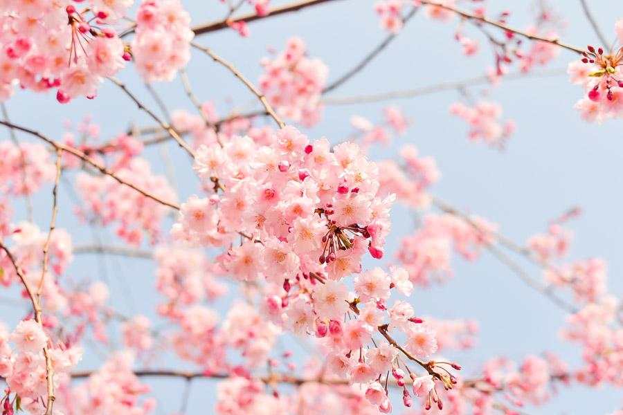 フリー写真 桜の花と蕾