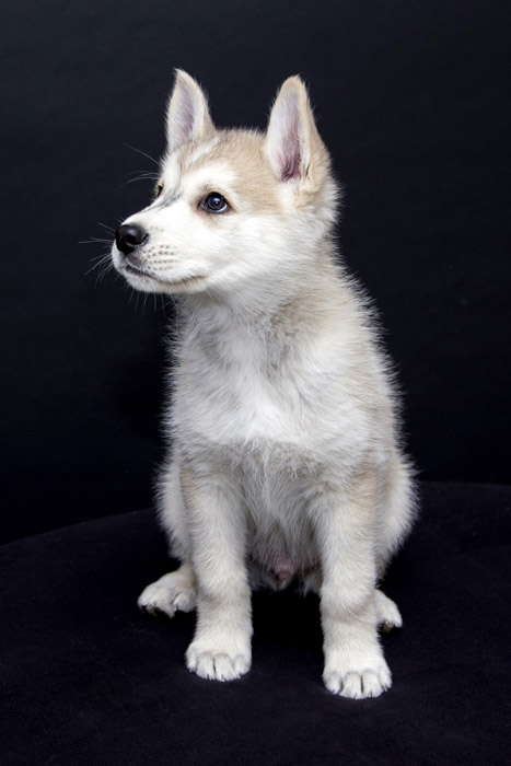フリー写真 シベリアンハスキーの子犬
