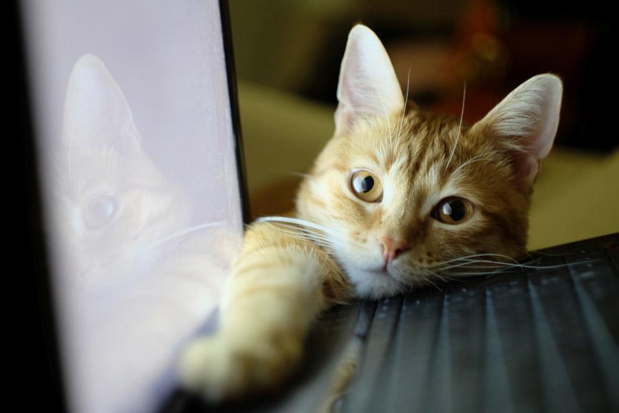 フリー写真 ノートパソコンと構ってほしい猫