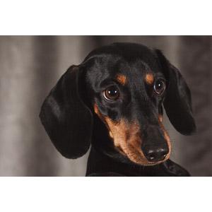 フリー写真, 動物, 哺乳類, 犬(イヌ), ダックスフント, 動物の顔