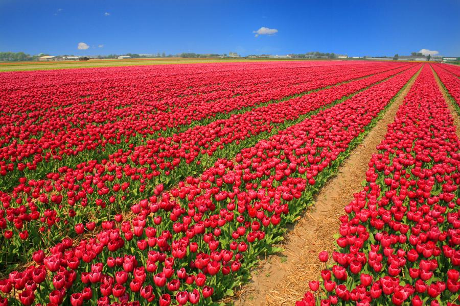 フリー写真 チューリップ畑の風景
