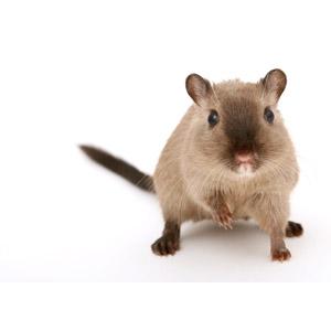 フリー写真, 動物, 哺乳類, 鼠(ネズミ), ハムスター, 白背景