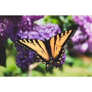 フリー写真, 動物, 昆虫, 蝶(チョウ), アゲハチョウ