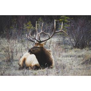 フリー写真, 動物, 哺乳類, 鹿(シカ), アメリカアカシカ(エルク)