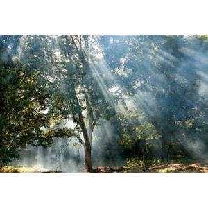 フリー写真, 風景, 自然, 樹木, 霧(霞), 木漏れ日, 太陽光(日光), 薄明光線