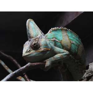 フリー写真, 動物, 爬虫類, カメレオン