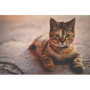フリー写真, 動物, 哺乳類, 猫(ネコ), 三毛トラ猫