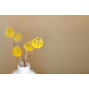 フリー写真, 植物, 花, クラスペディア, 黄色の花