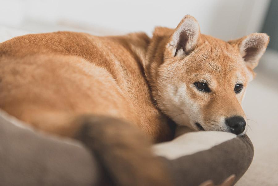 フリー写真 クッションの上でくつろぐ柴犬