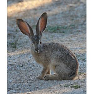 フリー写真, 動物, 哺乳類, 兎(ウサギ), オグロジャックウサギ