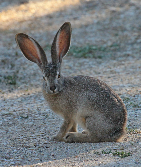 フリー写真 オグロジャックウサギ