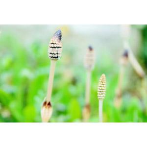 フリー写真, 植物, 土筆(ツクシ), スギナ, 春