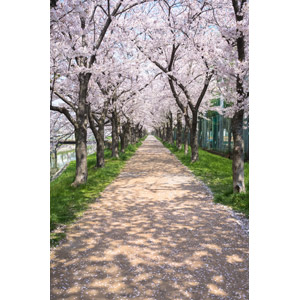 フリー写真, 風景, 並木道, 樹木, 花, 桜(サクラ), ピンク色の花, 春, 日本の風景
