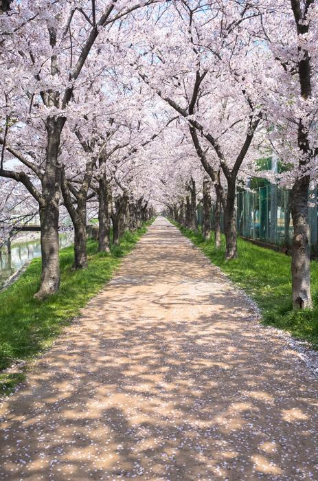 フリー写真 満開の桜並木の風景
