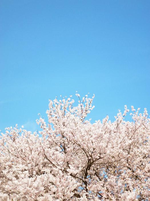 フリー写真 青空と満開のソメイヨシノ