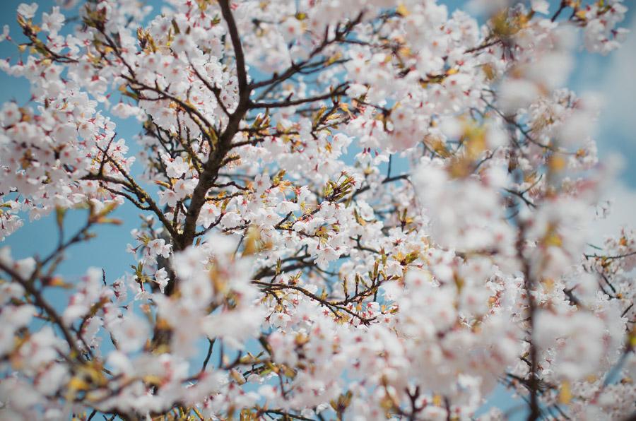 フリー写真 オランダの桜の花の風景