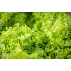 フリー写真, 食べ物(食料), 野菜, レタス, 緑色(グリーン)