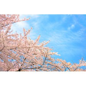 フリー写真, 風景, 自然, 花, 桜(サクラ), ピンク色の花, 青空, 春