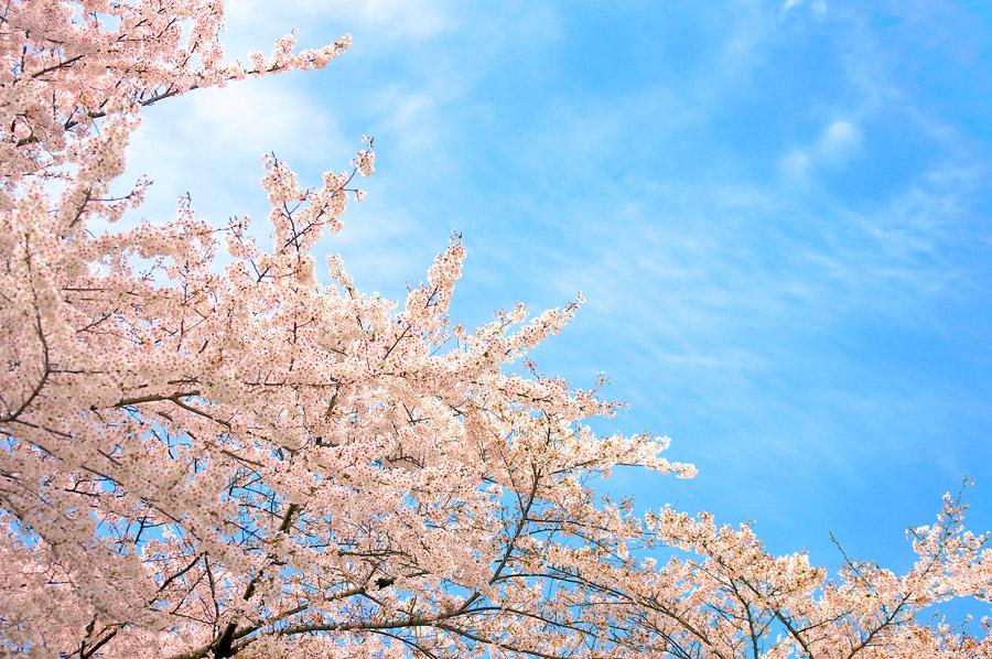 フリー写真 満開の桜の花と青空の風景