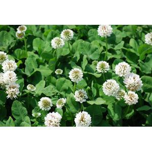 フリー写真, 植物, 雑草, クローバー(シロツメクサ), 白色の花