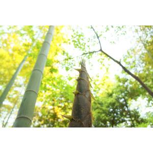 フリー写真, 風景, 自然, 竹(タケ), 竹の子(タケノコ)