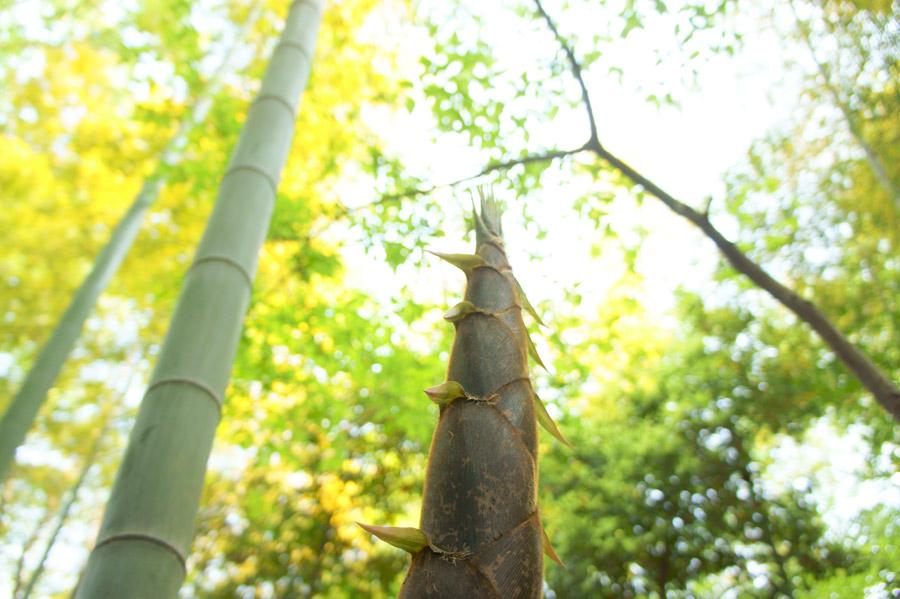 フリー写真 竹とたけのこの風景