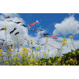 フリー写真, 風景, 植物, 花, 菜の花(アブラナ), 黄色の花, 春, 年中行事, 端午(菖蒲の節句), こどもの日, 5月, こいのぼり(鯉のぼり), 雲, 青空