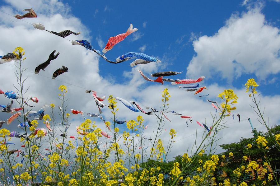 フリー写真 菜の花と鯉のぼり