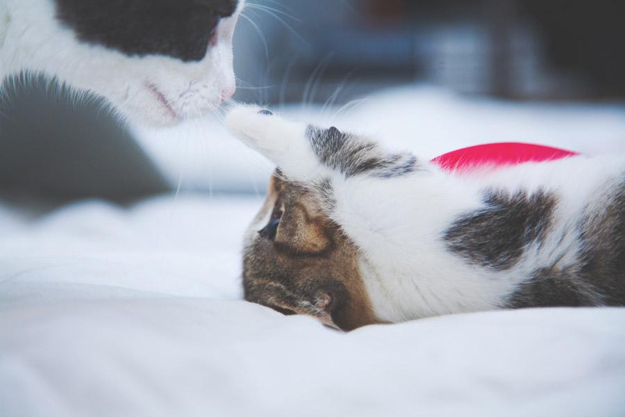 フリー写真 匂いをかぐ母猫とパンチする子猫