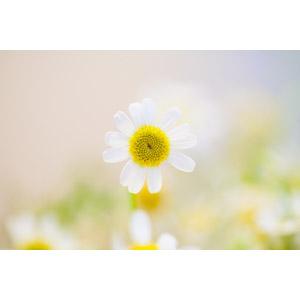 フリー写真, 植物, 花, カモミール, 白色の花