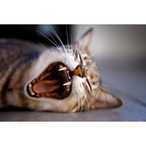 フリー写真, 動物, 哺乳類, 猫(ネコ), 欠伸(動物)