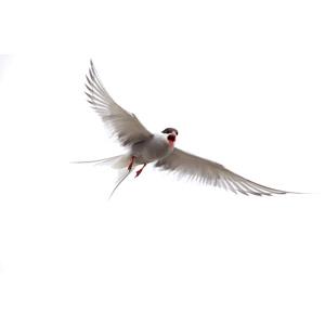 フリー写真, 動物, 鳥類, 鳥(トリ), 鴎(カモメ), キョクアジサシ, 口を開ける(動物)