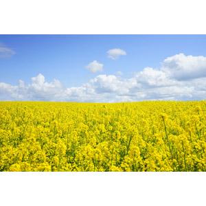 フリー写真, 風景, 畑, 植物, 花, 菜の花(アブラナ), 黄色の花, 雲, 青空, 春