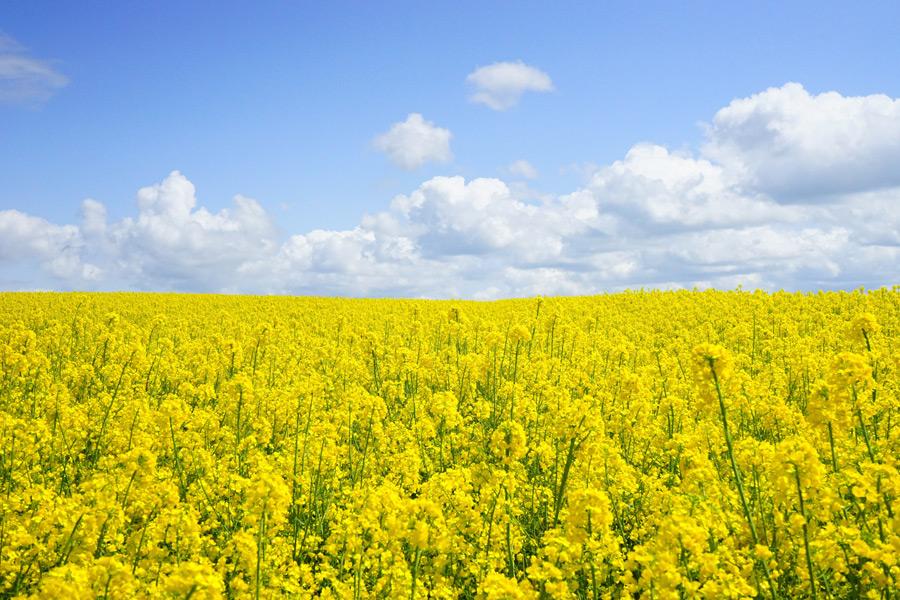 フリー写真 一面の菜の花畑の風景