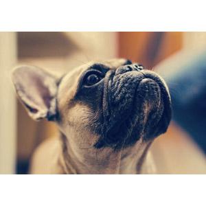 フリー写真, 動物, 哺乳類, 犬(イヌ), フレンチ・ブルドッグ, 見上げる(動物)