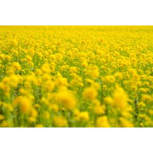 フリー写真, 風景, 畑, 花畑, 植物, 花, 菜の花(アブラナ), 黄色の花, 春, 黄色(イエロー)