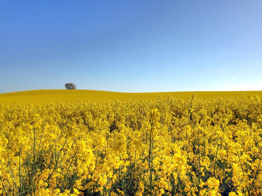 フリー写真 菜の花畑と青空