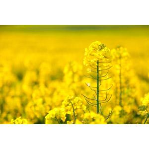 フリー写真, 風景, 植物, 花, 菜の花(アブラナ), 花畑, 黄色の花, 畑, 春, 黄色(イエロー)