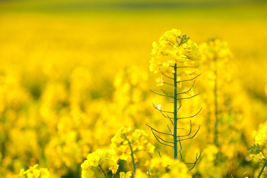 フリー写真 菜の花のアップ