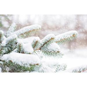 フリー写真, 風景, 雪, 冬, 松(マツ)