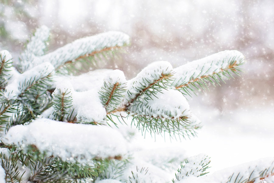 フリー写真 松の枝に積もる雪